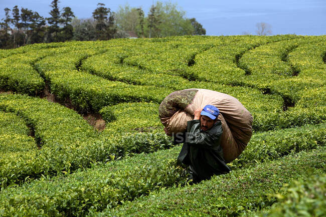 Tea cultivation, Gorreana, Sao Miguel Island, Azores, Portugal, Europe — Stock Photo