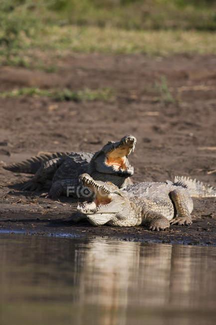 Crocodilos do Nilo (Crocodylus Niloticus) na costa com a boca bem aberta, dentes e garganta bem visíveis, Mercado de crocodilos, Lago Chamo. O Mercado do Crocodilo, uma península no Nechisar NP no Lago Chamo — Fotografia de Stock