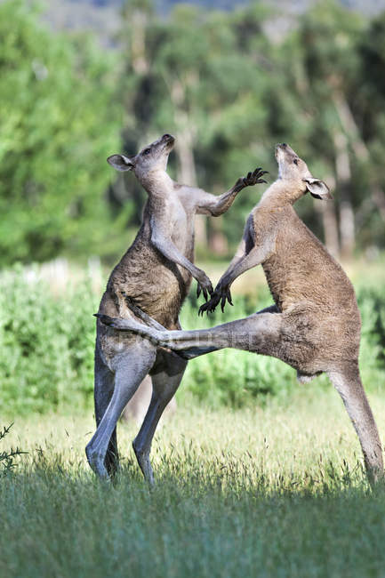 Eastern grey kangaroo (Macropus giganteus), it is the second largest living marsupial and one of the icons of Australia. Two bulls fighting for dominance which includes, kicking, boxing and wrestling, it is a behaviour which happens mainly when a fem — Stock Photo