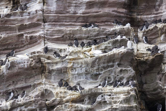 Common Murre (Uria aalge), cliffs of the  Noss national Nature Reserve.   Europe, Great Britain, Scotland, Northern Isles, Shetland, May — Stock Photo