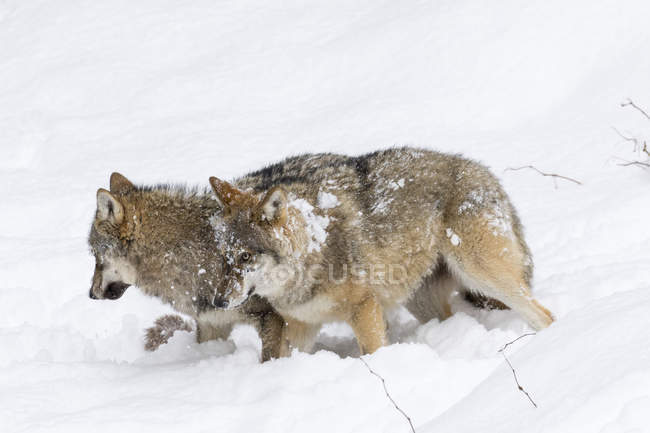 Gray Wolfves (Canis lupus) during winter in  National Park Bavarian Forest (Bayerischer Wald). Europe, Central Europe, Germany, Bavaria, January — стоковое фото