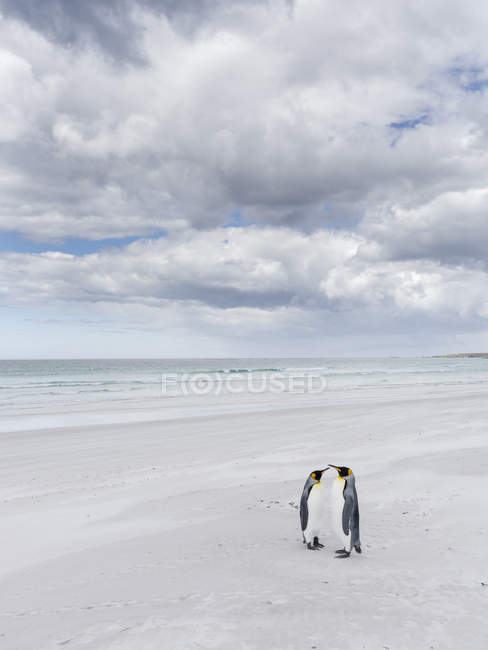 Король пінгвінів (Аттенодит патагонік) на Фолклендський островів в Південній Атлантиці. Південна Америка, Фолклендський, Січень — стокове фото