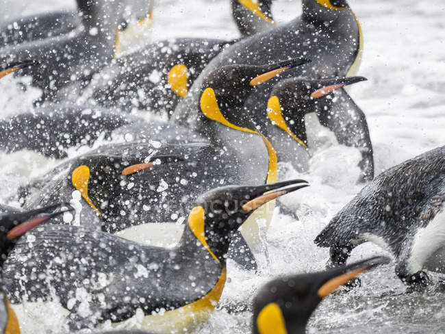 King Penguins (Aptenodytes patagonicus) on the island of South Georgia, the rookery on Salisbury Plain in the Bay of Isles. Adults coming ashore. Antarctica, Subantarctica, South Georgia — Stock Photo