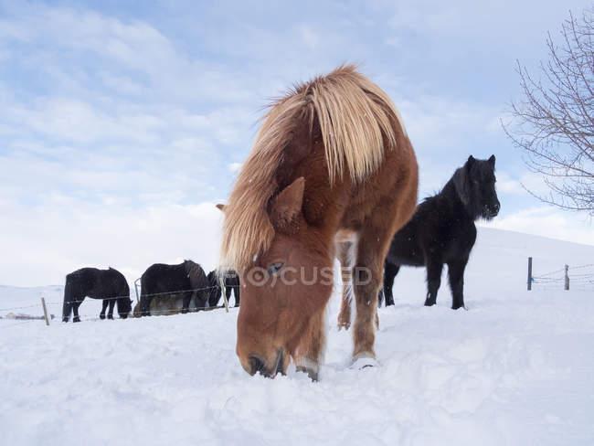 Ісландський кінь у свіжому снігу в Ісландії. Це традиційна порода для Icealnd і веде свій початок від коней старих вікінгів. Європа, Північна Європа, Ісландія — стокове фото
