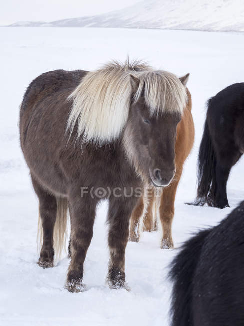 Icelandic Horse in fresh snow in Iceland. It is the traditional breed for Icealnd and traces its origin back to the horses of the old vikings. Europe, Northern Europe, Iceland — стокове фото