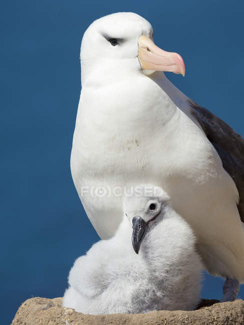 Adult and chick on tower shaped nest. Black-browed albatross or black-browed mollymawk (Thalassarche melanophris). South America, Falkland Islands,  January — Stock Photo