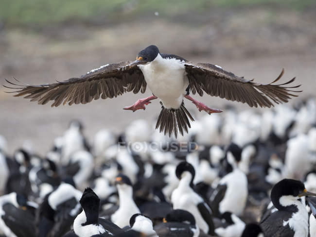 Landing in a huge colony. Imperial Shag also called King Shag, blue-eyed Shag, blue-eyed Cormorant (Phalacrocorax atriceps or Leucarbo atriceps).    South America, Falkland Islands, January — Stock Photo