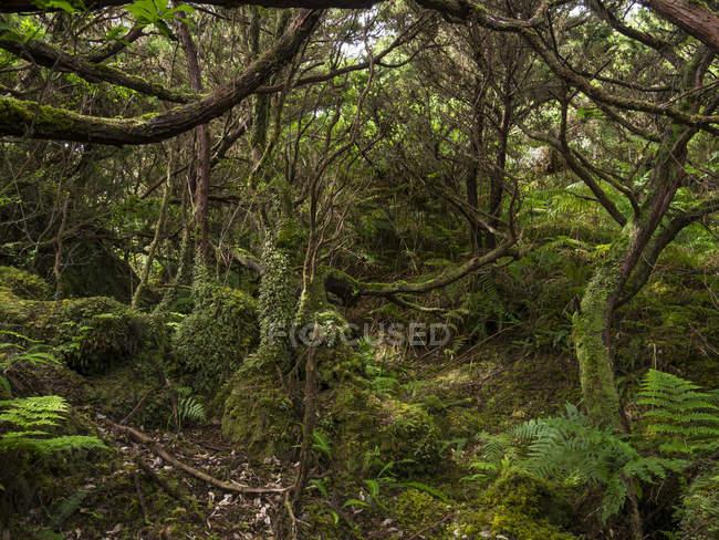Cloud Forest with endemic vegetation (Laurel Laurus azorica, Azores juniper Juniperus brevifolia, tree heath Erica azorica).   Island Ilhas Terceira, part of the Azores (Ilhas dos Acores) in the atlantic ocean, an autonomous region of Portugal. Europ — Stock Photo