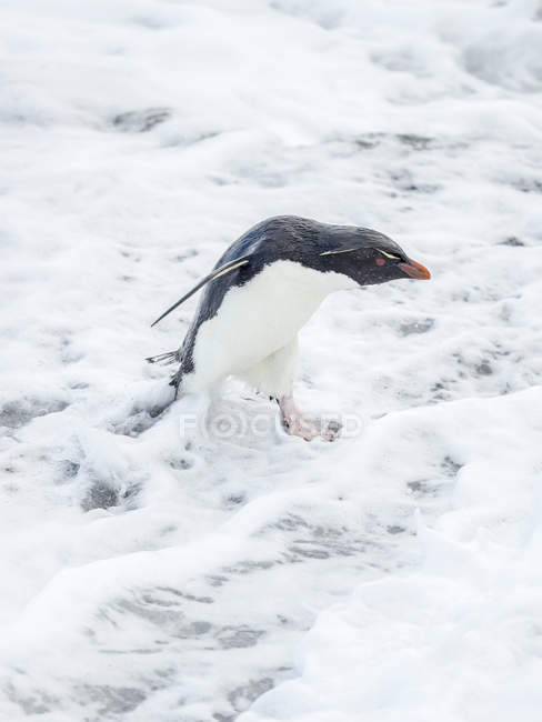 Coming ashore and climbing a steep cliff on Bleaker Island. Rockhopper Penguin  (Eudyptes chrysocome), subspecies Southern Rockhopper Penguin (Eudyptes chrysocome chrysocome).  South America, Falkland Islands, January — Stock Photo