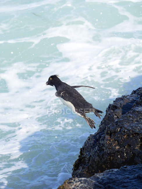 Jumping into the sea from a steep cliff on Bleaker Island. Rockhopper Penguin  (Eudyptes chrysocome), subspecies Southern Rockhopper Penguin (Eudyptes chrysocome chrysocome).  South America, Falkland Islands, January — Stock Photo