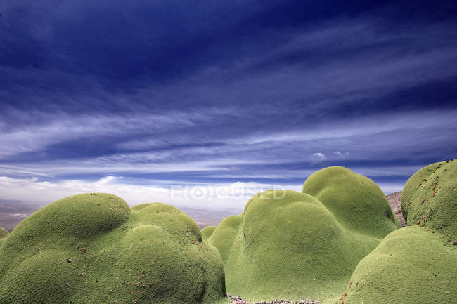 Yareta, Andes, Peru, South America — стокове фото