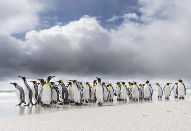 King Penguins (Aptenodytes patagonicus) on the Falkand Islands in the South Atlantic. Grupo de pingüinos en la playa de arena durante la tormenta, nubes de tormenta en el fondo. América del Sur, Islas Malvinas, enero — Stock Photo
