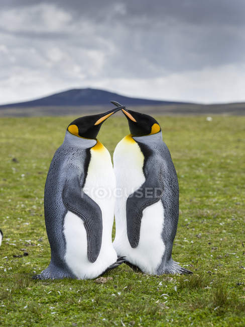 King Penguins (Aptenodytes patagonicus) on the Falkand Islands in the South Atlantic. South America, Falkland Islands, January — Stock Photo