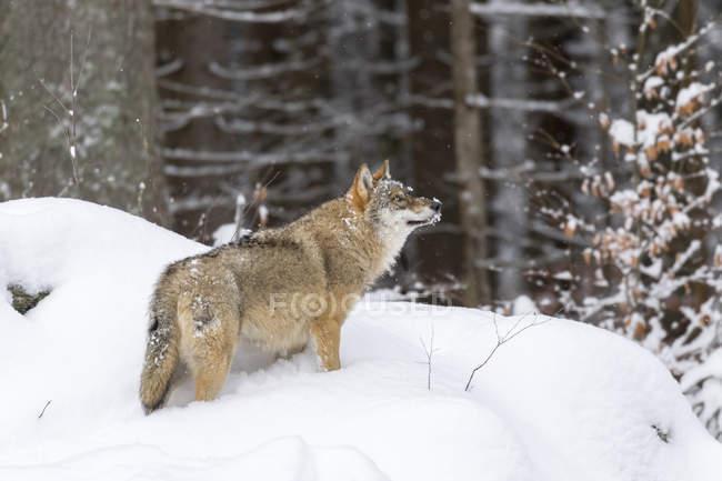 Серый волк (Canis lupus) зимой в Национальном парке Баварский лес (Bayerischer Wald). Европа, Центральная Европа, Германия, Бавария, январь — стоковое фото
