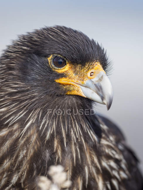 Adult, with typical yellow skin in face. Striated Caracara or Johnny Rook (Phalcoboenus australis), protected, endemic to the Falklands and highly intelligent bird of prey. South America, Falkland Islands, January — Stock Photo