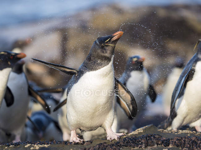 Coming ashore at a rocky coastline on Saunders Island. Rockhopper Penguins  (Eudyptes chrysocome), subspecies Southern Rockhopper Penguin (Eudyptes chrysocome chrysocome).  South America, Falkland Islands, January — Stock Photo