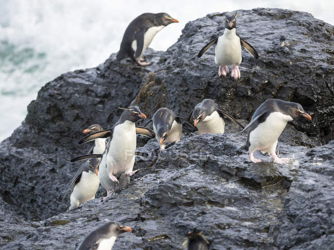 Coming ashore and climbing a steep cliff on Bleaker Island. Rockhopper Penguins  (Eudyptes chrysocome), subspecies Southern Rockhopper Penguin (Eudyptes chrysocome chrysocome).  South America, Falkland Islands, January — Stock Photo