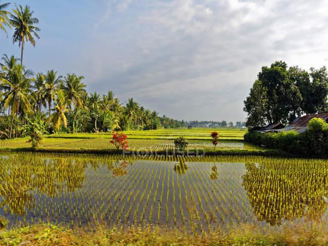 Падінні поля, острів Ломбок, Індонезія, Азія — стокове фото