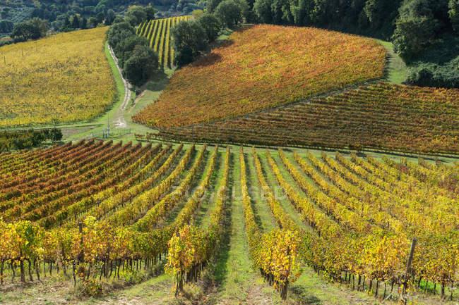 Campagna, azienda agricola, Vigneto, Potenza Picena, Marche, Italia, Europa — Foto stock