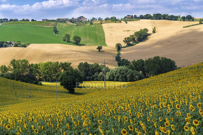Countryside, Field of Sunflowers, Montelupone, Marche, Italy, Europe — Stockfoto