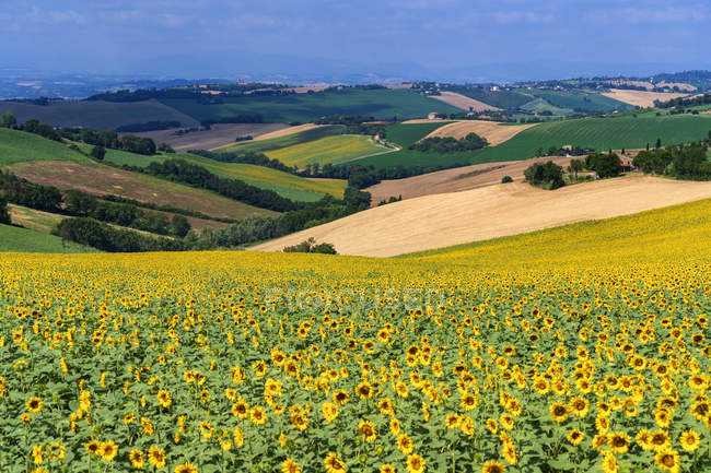 Countryside, Field of Sunflowers, Morrovalle, Marche, Italy, Europe — стокове фото