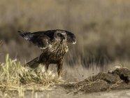 Aguilucho pantano occidental en la naturaleza salvaje - foto de stock