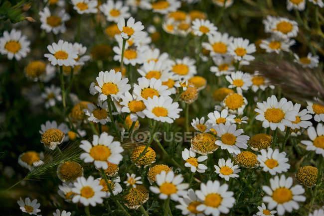 Ромашка цветы, растущие на открытом воздухе в лугу — стоковое фото