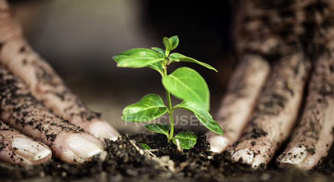 Female hands plant small tree in soil ground — Photo de stock