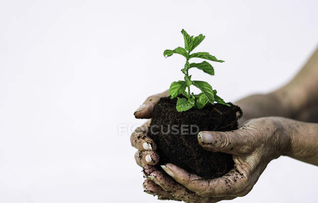 Small plant growing in soil on woman hands — стокове фото