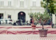 Growing houseplant in pot on cafe table outdoors in street — Stock Photo