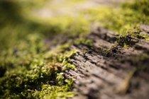 Vista di muschio germogli su superficie di legno — Foto stock