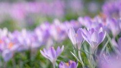 Bellissimi fiori di croco — Foto stock