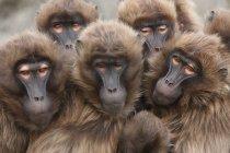 Retrato de família de macacos Babuínos — Fotografia de Stock