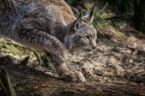 Side view of hunting lynx on tree trunk — Stock Photo