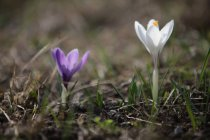 Beautiful crocus flowers — Stock Photo