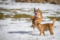 Dogs playing on snowed meadow — Stock Photo