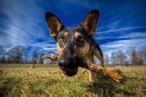 Porträt des Hundes mit Stock im Mund — Stockfoto