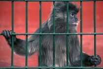 Recorta la vista de un mono negro en jaula - foto de stock