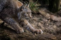 Daytime cropped view of lynx walking on wooden log — Stock Photo
