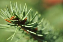 Fir tree needles of the branch — Stock Photo