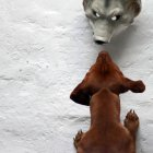 Dachshund dog reaching for wolf mask on wall — Stock Photo