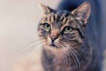 Gato com olhos verdes — Fotografia de Stock