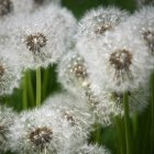 White dandelion flowers — Stock Photo