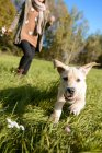 Front view of puppy running on meadow with woman in background — Stock Photo