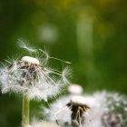 Weiße Blumen Löwenzahn — Stockfoto