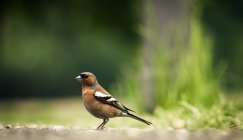 View of common chaffinch in garden — Stock Photo