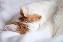Ginger and white cat sleeping — Stock Photo