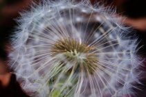Closeup view of view of dandelion fluffs — Stock Photo