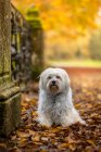 Front view of havanese dog in autumnal leaves — Stock Photo