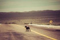 Vista diurna do pé de cão solitário na estrada no deserto — Fotografia de Stock